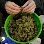 Cannabis In Massachusetts 2
